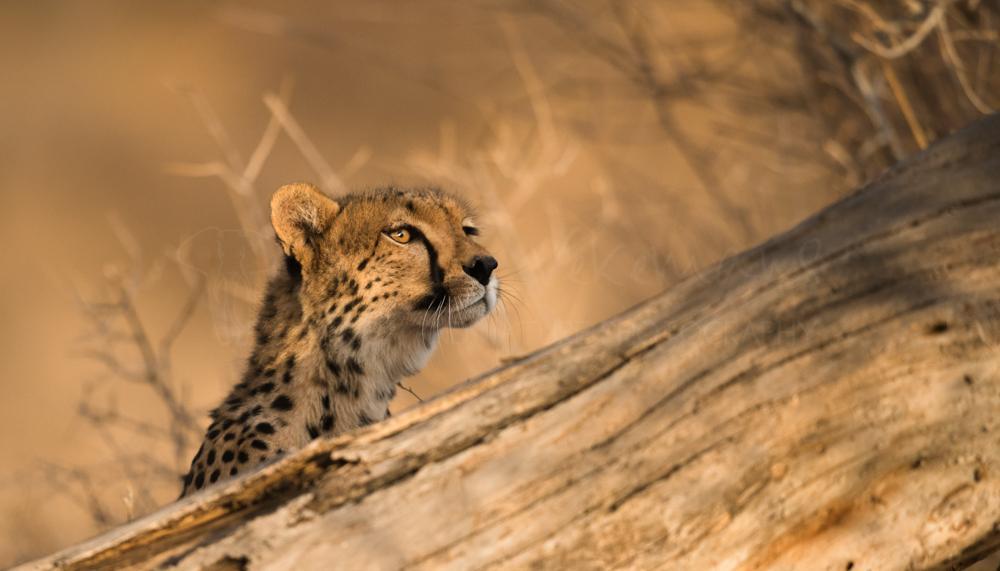 Foto's van Afrikaanse katachtigen door Ingrid Vekemans