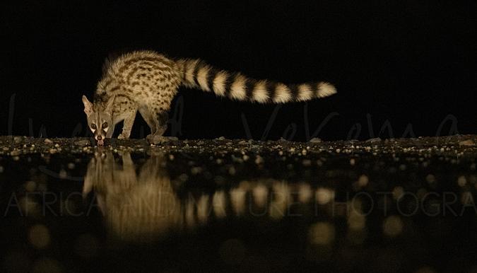 Genet kat drinkend van waterplas in het donker met reflectie