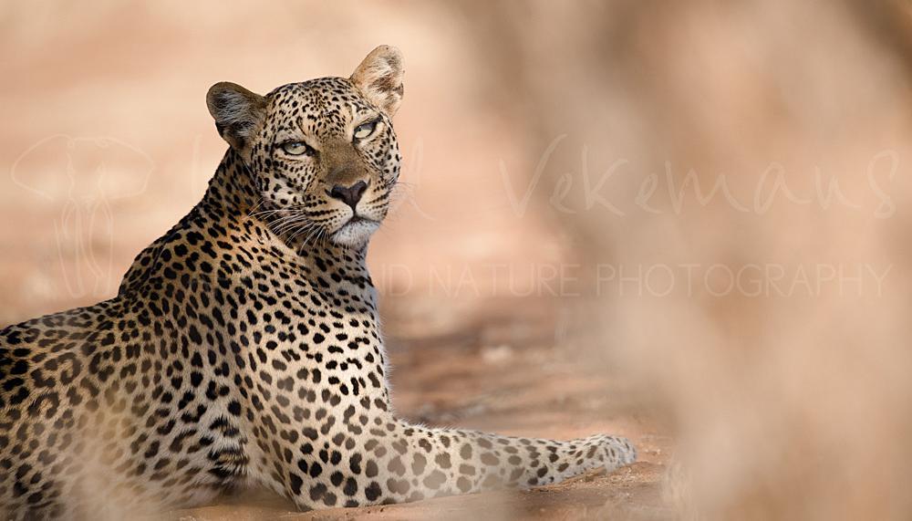 Foto's van leeuwen en luipaarden door Ingrid Vekemans