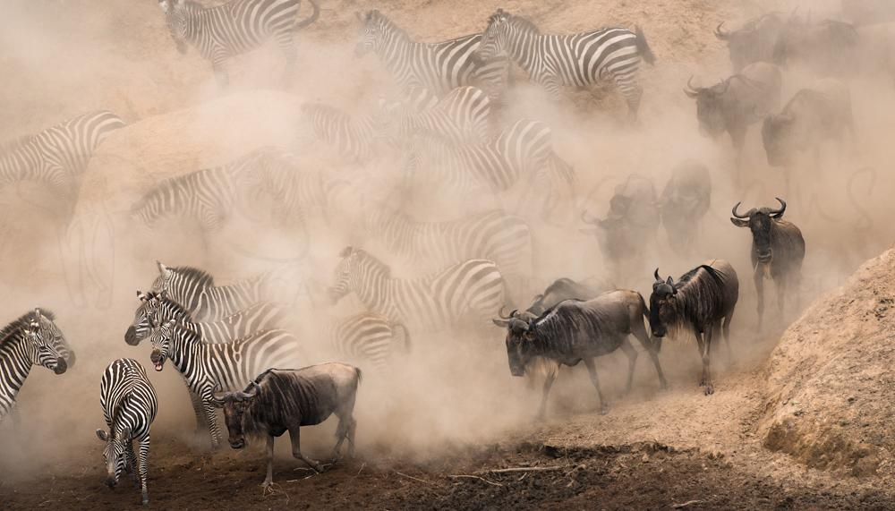 Wildebeest and zebra running towards river in a cloud of dust