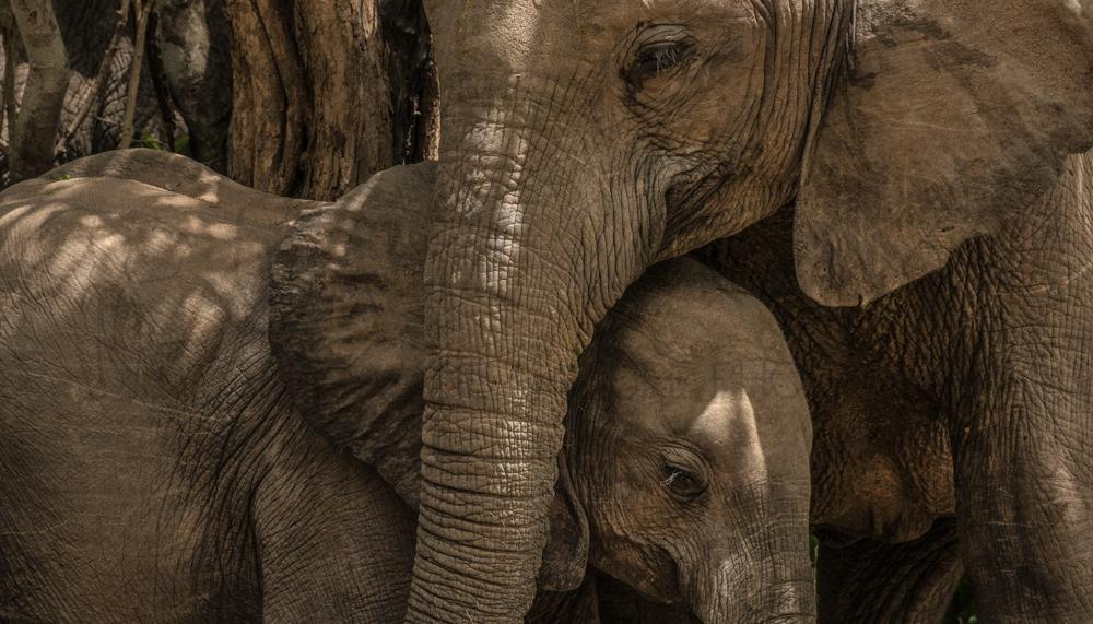Photos of African elephants by Ingrid Vekemans