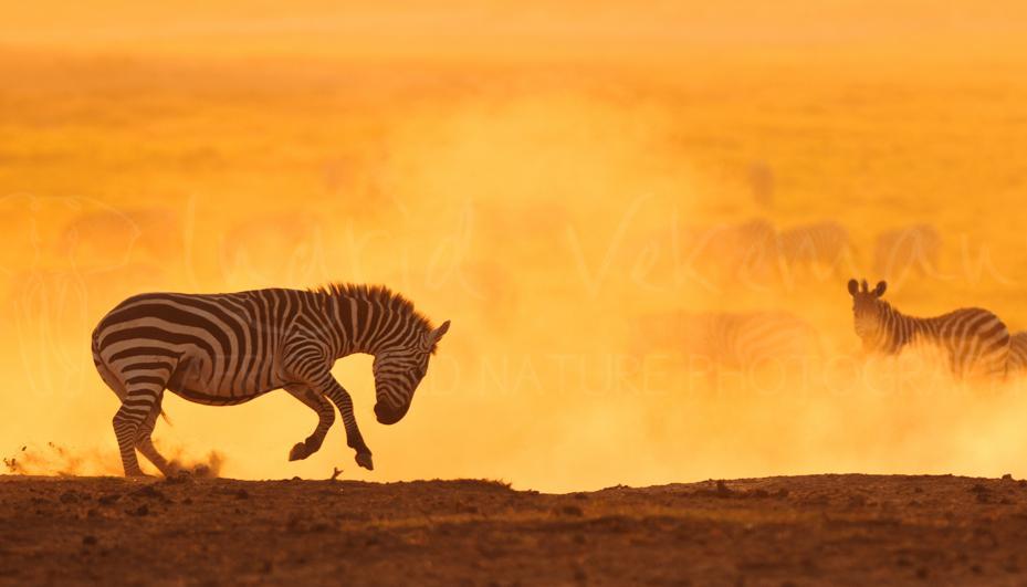 Foto's van zebra's en gnoes door Ingrid Vekemans