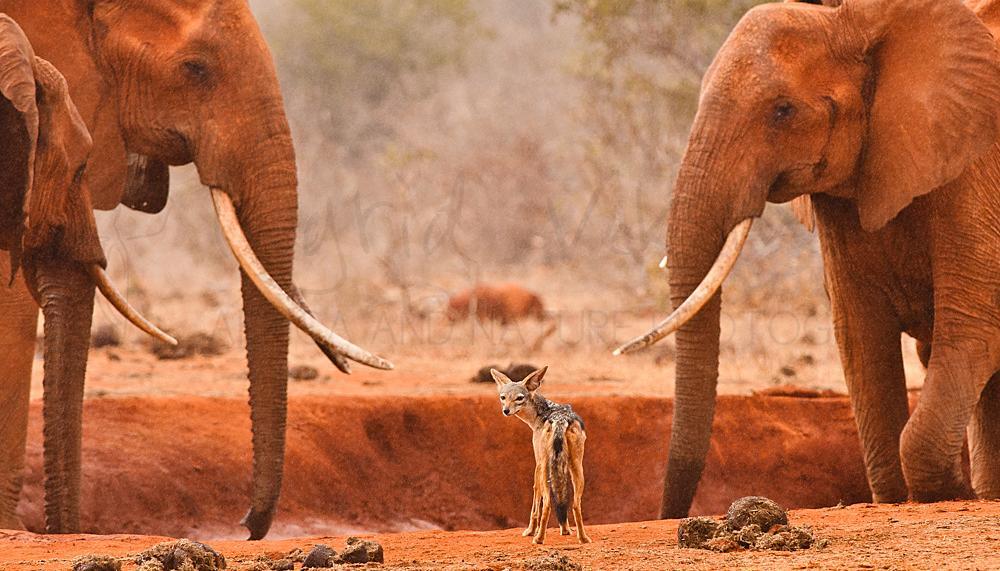 Foto's van hyena's, jakhalzen, wilde honden en grootoorvossen van Ingrid Vekemans
