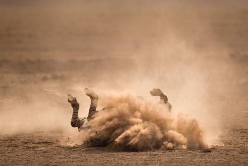 Zebra neemt stofbad in Amboseli tijdens 'Over Maneaters en Rode Olifanten' fotosafari