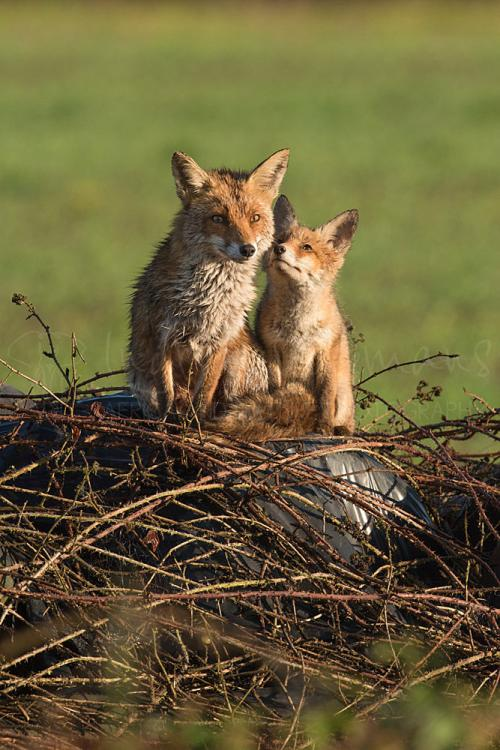 Baby fox looking in adoration at mother