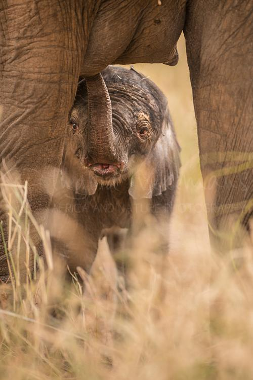 1 or 2 days old baby African elephant under mother's feet