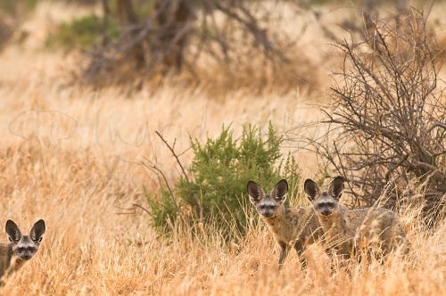 Grootoorvossen staand met oogcontact fotosafari Ongerept Afrika