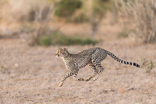 Rennende jachtluipaard in Tsavo East tijdens Over Maneaters en Rode Olifanten fotosafari