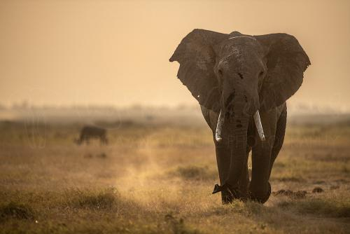 Elephant walking in Amboseli at sunset during Maneaters and Red Elephants photo safari