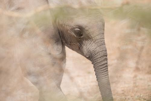 Baby elephant in the bush in Amboseli during 'Maneaters and Red Elephants' photo safari