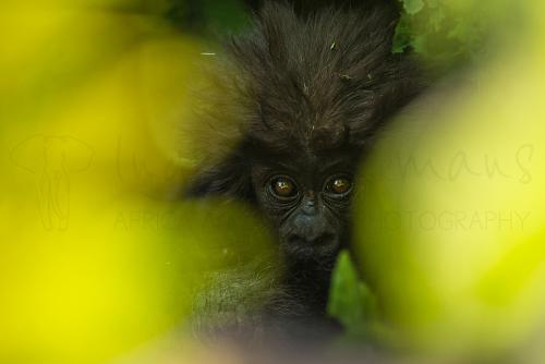 Baby gorilla in Volcanoes National Park in Rwanda and category winner of IFWP 2017 photo contest