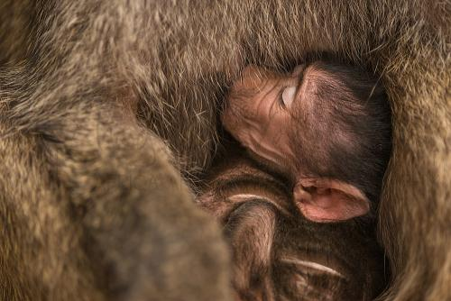 Baby baboon suckling near Lake Manyara during Tanzania Wilderness Safari photo safari