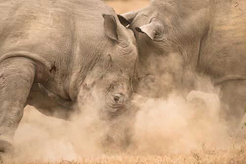Award winning photo of fighting rhino by Ingrid Vekemans
