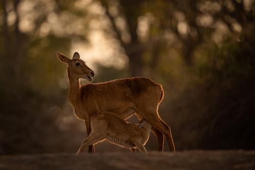 Puku moeder zoogt kalf in gouden licht van zonsondergang in South Luangwa in Zambia