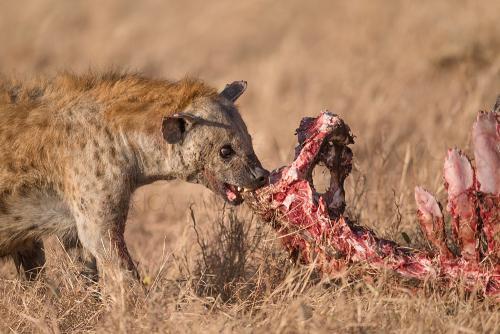 Hyena scavenging on buffalo kill in Serengeti during 'Tanzania Wilderness Safari' photo safari