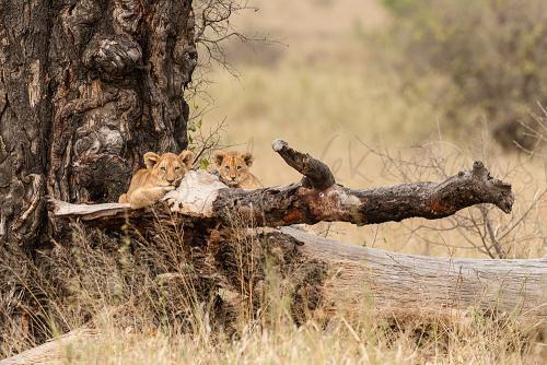 Lion cubs waiting for mother in Serengeti National Park during Tanzania Wilderness Safari photo safari