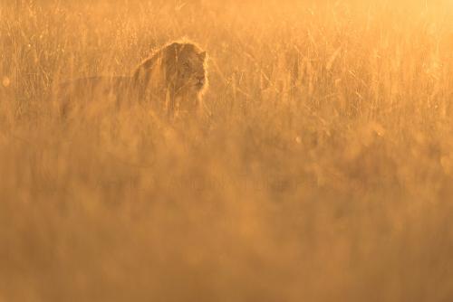 Leeuw bij zonsopgang in de Masai Mara tijdens 'Migratie en Meren van de Grote Rift' fotosafari