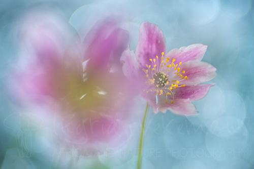 Wood anemones in close-up with bokeh winner silver medal Narava Photo Contest