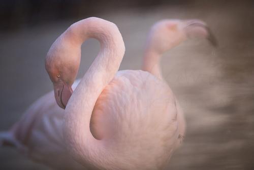 Captive greater flamingos close-up
