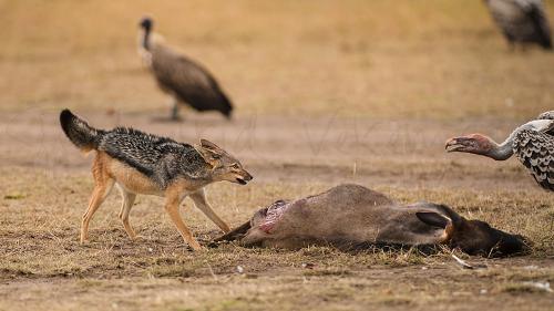 Zwangere jakhals vecht met gier over prooi in Masai Mara