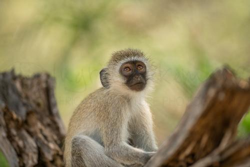 Vervet monkey in Tsavo West during Maneaters and Red Elephants photo safari with Ingrid Vekemans
