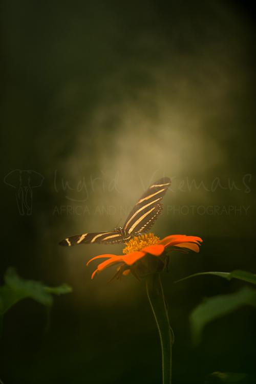 Heliconius charithonia sitting on flower with spread wings