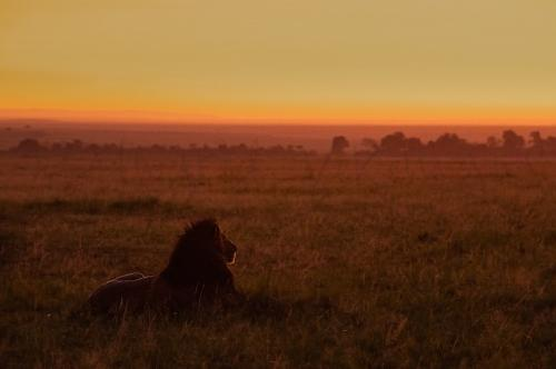 Sunrise with lions in Masai Mara during photographic tour with Ingrid Vekemans