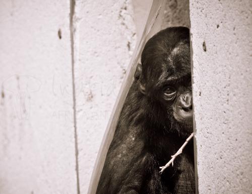 Baby bonobo kijkt triest uit kooi