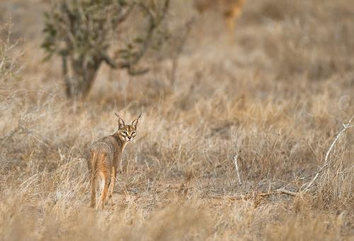 Caracal in Tsavo East during Maneaters and Red Elephants photo safari