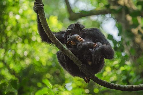 Chimpansee moeder zit op tak met baby in armen die naar beneden kijkt