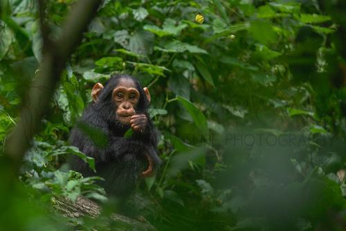 Baby chimpansee zit op de grond van het woud met gele vlinder die boven hem vliegt