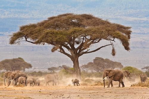 Elephant herd around acacia tree with baby in the middle in Amboseli in Kenya