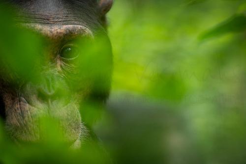 Grote close-up van chimpansee met oogcontact doorheen vage groene vegetatie
