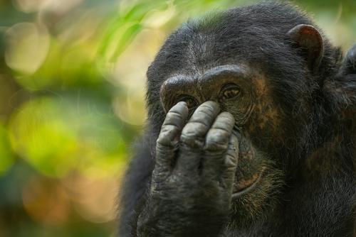 Chimpansee kijkt frontaal terwijl hij neus met de vingers aanraakt met vage kleurrijke achtergrond