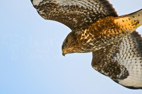 Common Buzzard flying in close-up
