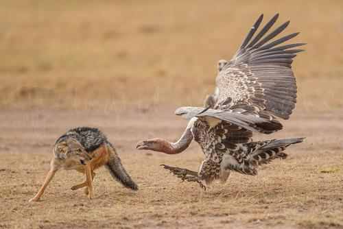 Pregnant jackal fighting vulture over prey in Masai Mara during Migration and Rift Valley Lakes photo safari