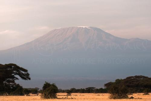 Pride of six lions at the foot of Mount Kilimanjaro in Amboseli at sunrise