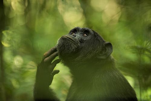 Close-up van chimpansee met ogen naar boven en hand onder kin met vage groene vegetatie van oerwoud op de achtergrond