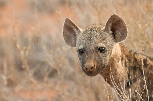 Jonge baby gevlekte hyena close-up in Tsavo East
