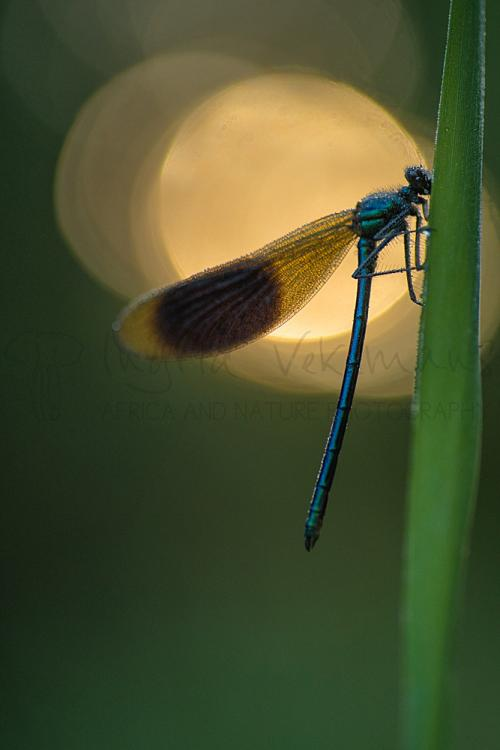 Male banded demoiselle close-up at sunrise