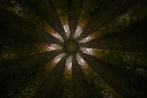 Nine dark trees reaching to the sky in a regular rhythm to form a star shaped canopy