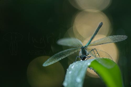 Banded demoiselle at the break of dawn