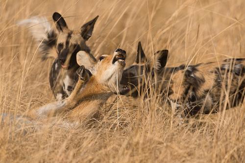 Afrikaanse wilde honden vangen puku in doodsstrijd in close-up in South Luangwa in Zambia