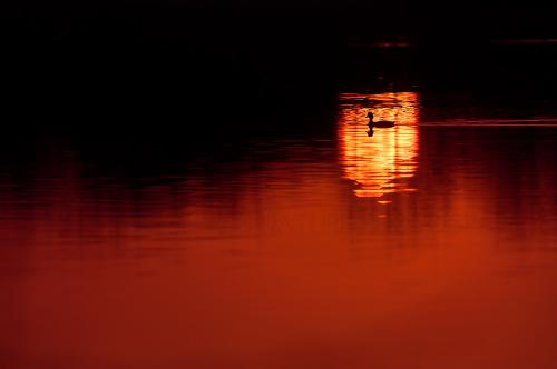 Grebe swimming through reflection of sunset