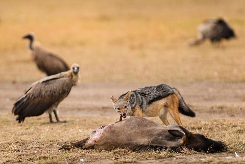 Zwangere jakhals bij prooi van gnoe met gieren in Masai Mara