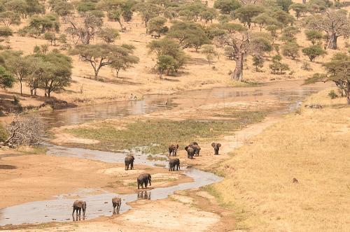 Olifanten drinkend uit Tarangirerivier in landschap met baobabbomen