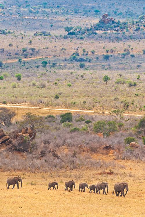 Olifantenkudde wandelend in één rij in Tsavo West landschap.