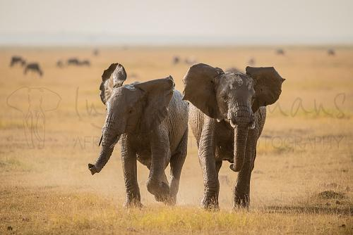 Elephants playfully running in Amboseli during 'Maneaters and Red Elephants' photo safari