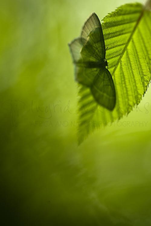 Light emerald on beech leaf