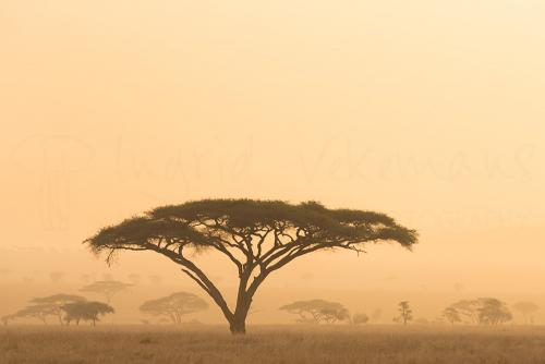 Evening light in acacia trees in Serengeti during Tanzania Wilderness Safari photo safari